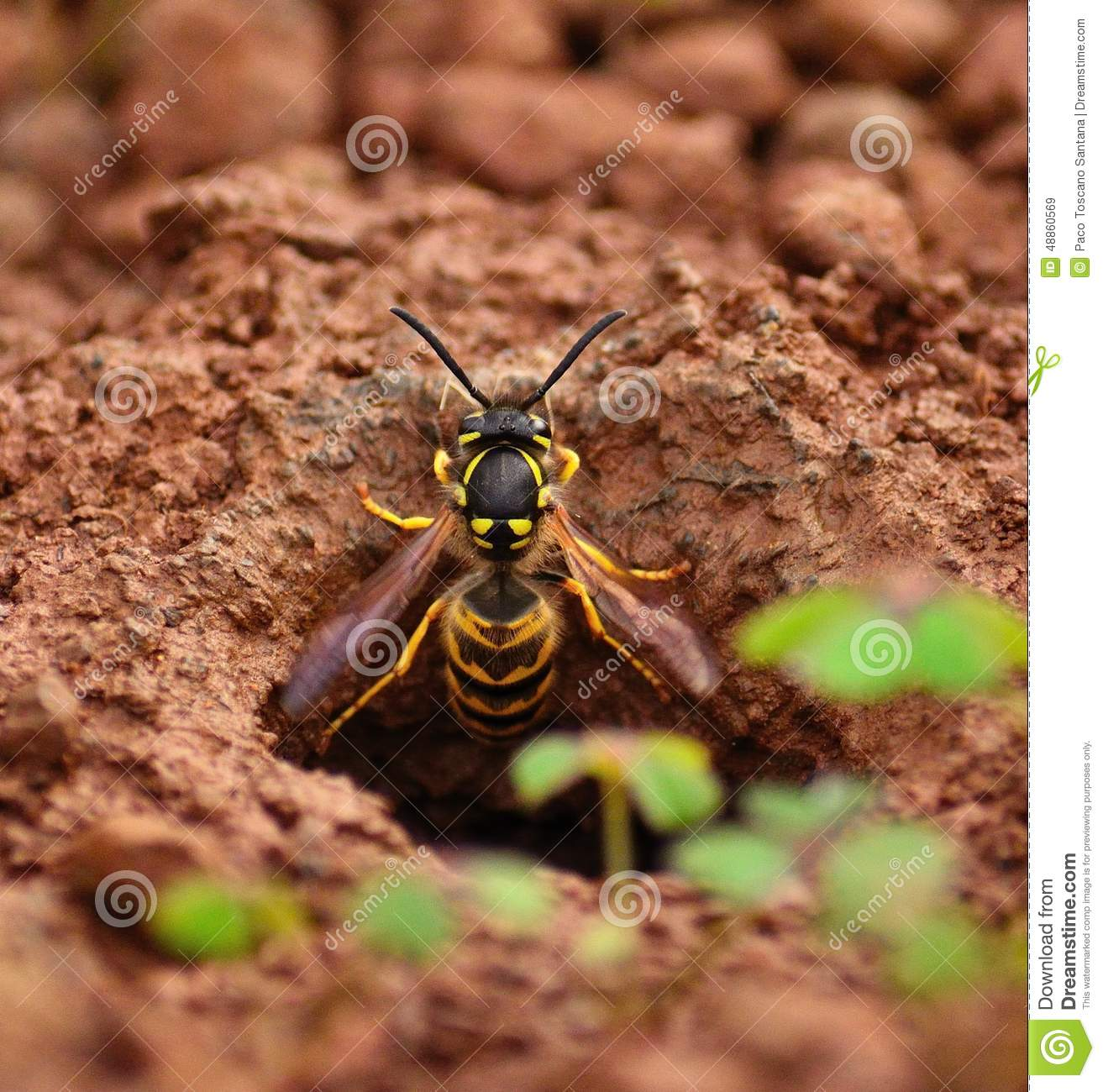 Vespula Germanica In The Exit Hole Of The Underground Nest Stock.