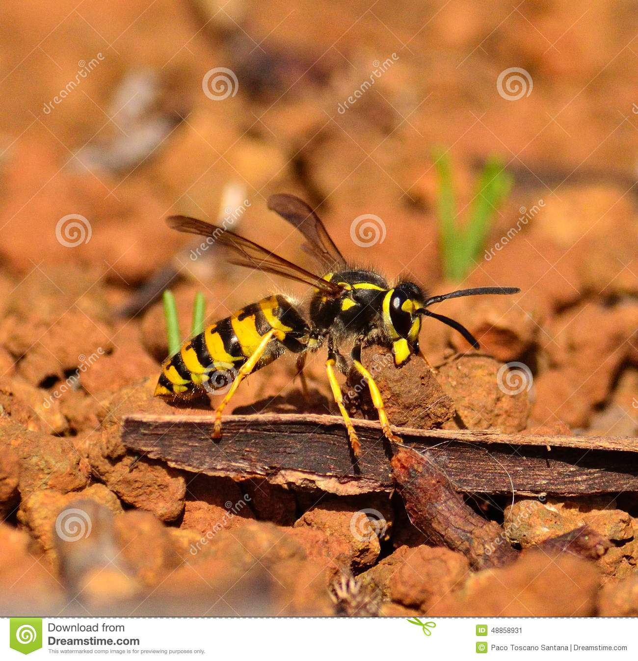 Large Wasp Vespula Germanica Carrying Small Stone With Its Jaws.