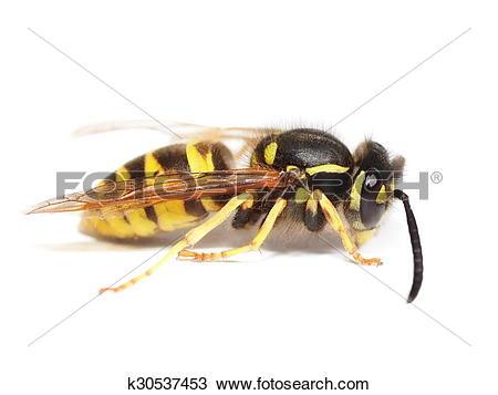 Drawing of European wasp Vespula germanica k30537453.