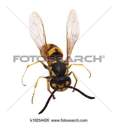 Stock Images of European wasp Vespula germanica k16254426.