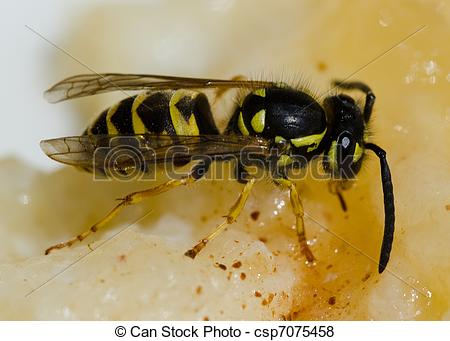 Pictures of European wasp, Vespula germanica, eating sweet pudding.