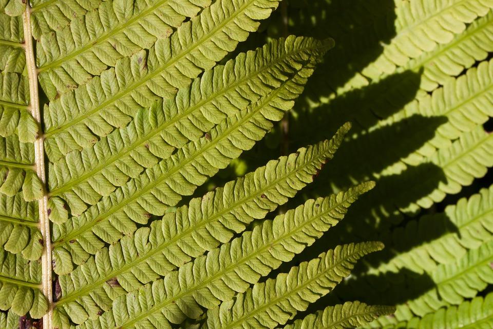 Free photo Vessel Sporenpflanze Green Plant Fern Fiddlehead.