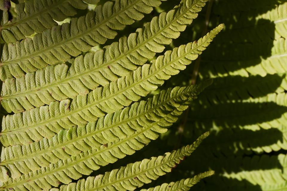 Free photo Vessel Sporenpflanze Fiddlehead Fern Plant Green.