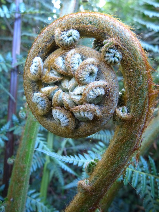 Free photo Fiddlehead Fern Vessel Sporenpflanze Plant Roll Out.