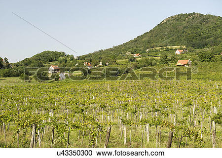 Stock Photography of Hungary, Veszprem, Kaptalantoti. Vineyards of.