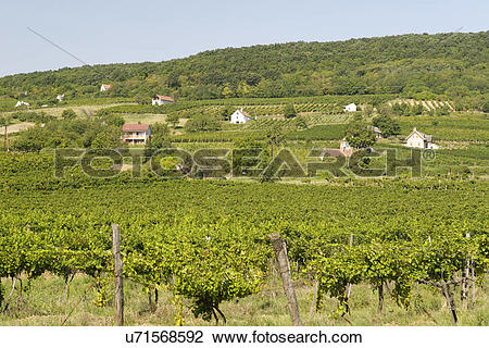 Stock Photo of Hungary, Veszprem, Kaptalantoti. Vineyards of.