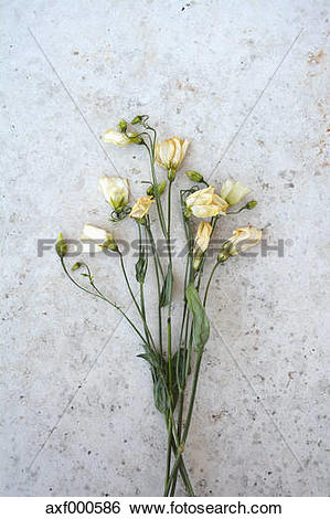 Stock Images of Bound of white withered vetches axf000586.