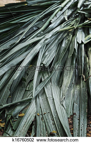 Stock Photo of Vetiver grass for animals. k16760502.
