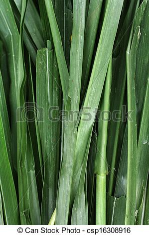 Stock Photography of Vetiver grass for animals. csp16308916.