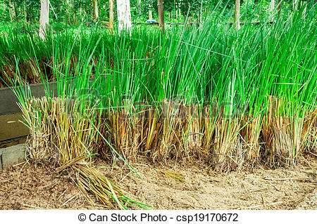 Picture of Vetiver Grass.