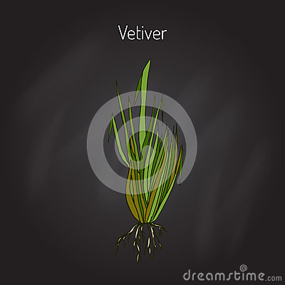 Vetiver Stock Illustrations.