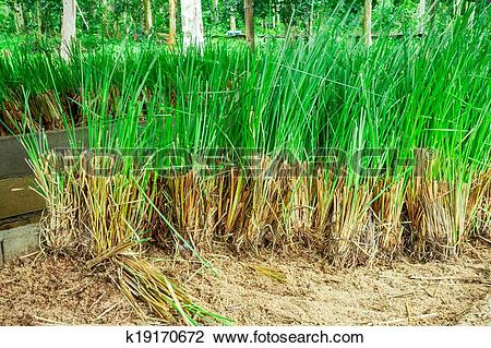 Stock Photo of Vetiver Grass k19170672.