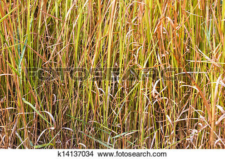Stock Photo of Vetiver grass background k14137034.
