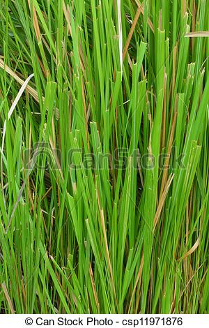Picture of Vetiver.