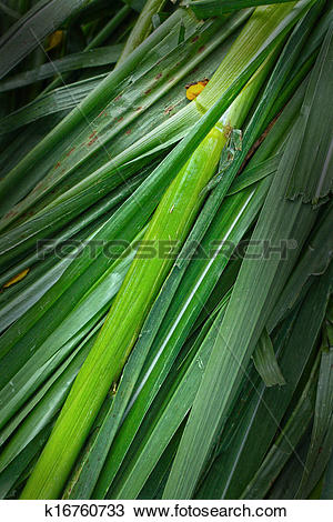 Stock Photo of Vetiver grass for animals. k16760733.