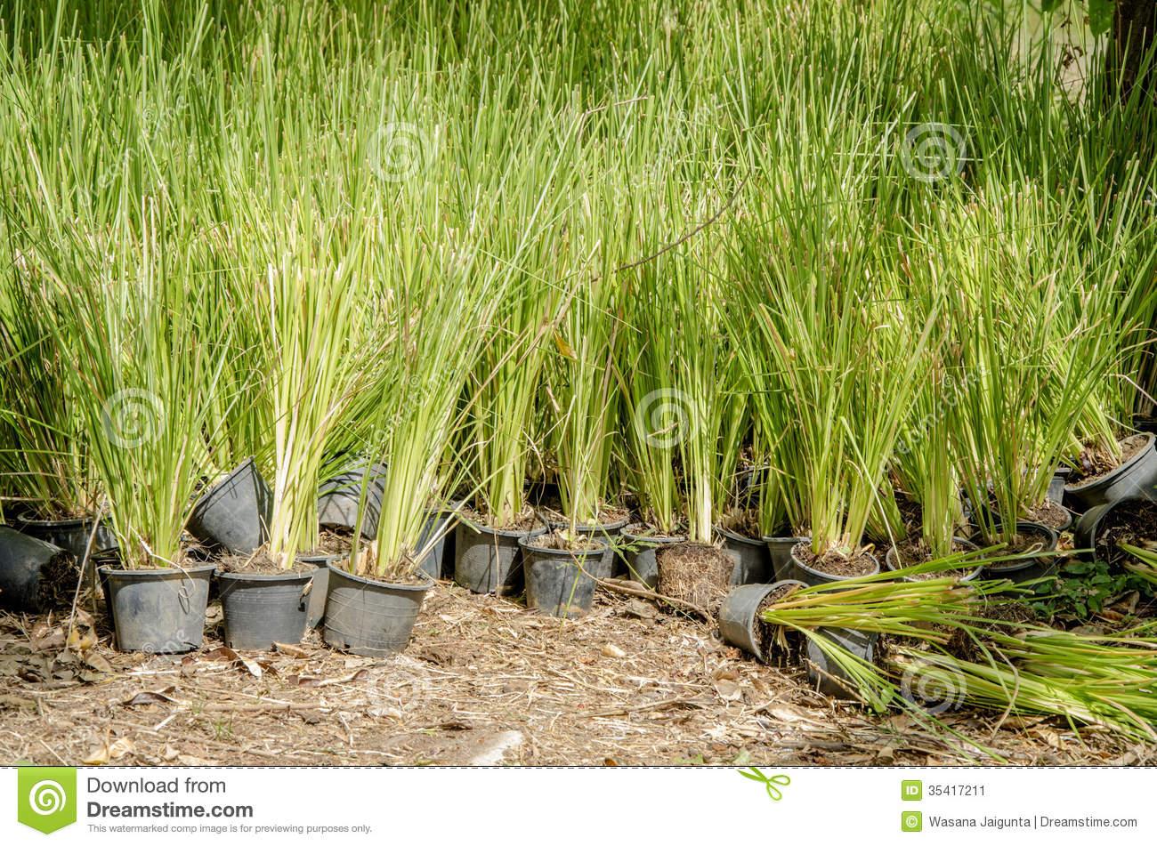 Vetiver Grass. (Vetiveria Zizanioides). Stock Image.
