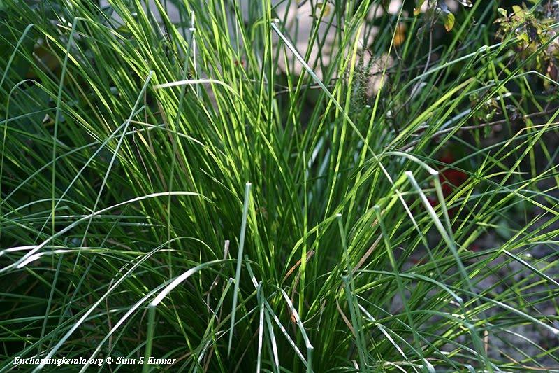 Herbs @ Work: Herb of the week.