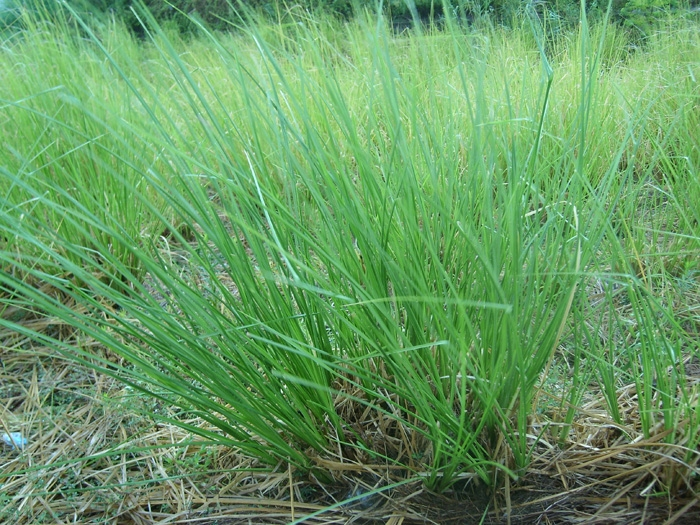 Vetiver (Vetiveria Zizanioides) Overview, Health Benefits, Side.
