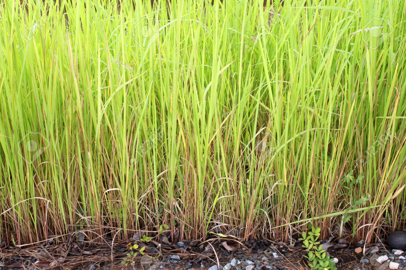 Vetiveria Zizanioides Or Vetiver Grass Or Thatch Or Cogon Grass.