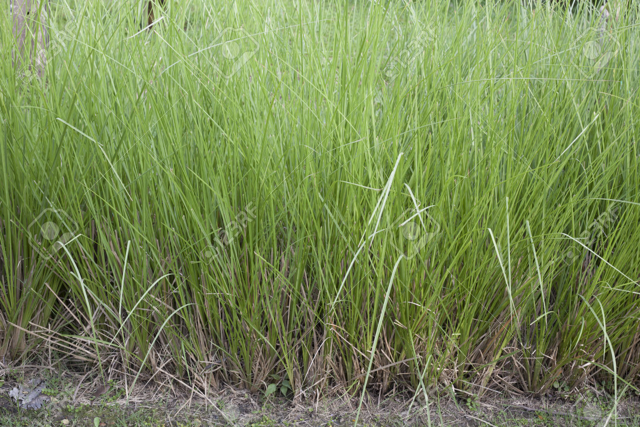 Vetiver Grass Or Vetiveria Zizanioides Stock Photo, Picture And.