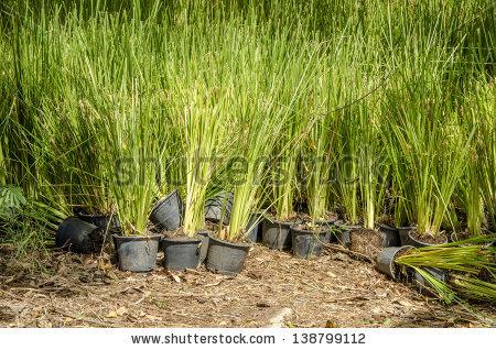 Vetiveria Zizanioides Stock Images, Royalty.