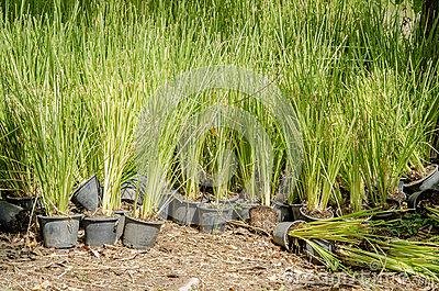 Vetiver Grass (Vetiveria Zizanioides). Royalty Free Stock.