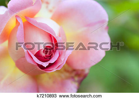 Stock Photo of Beautiful image of colorful pink vibrant rose.
