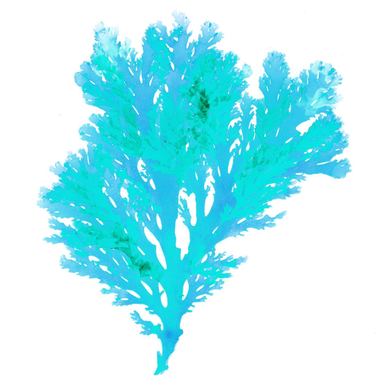 Amazon.com: Teal Blue Beach Art, Seaweed Print on Canvas.