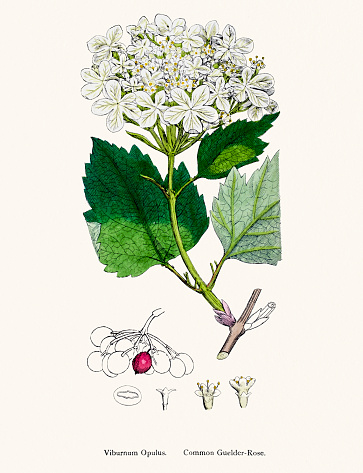 Viburnum Opulus Clip Art, Vector Images & Illustrations.