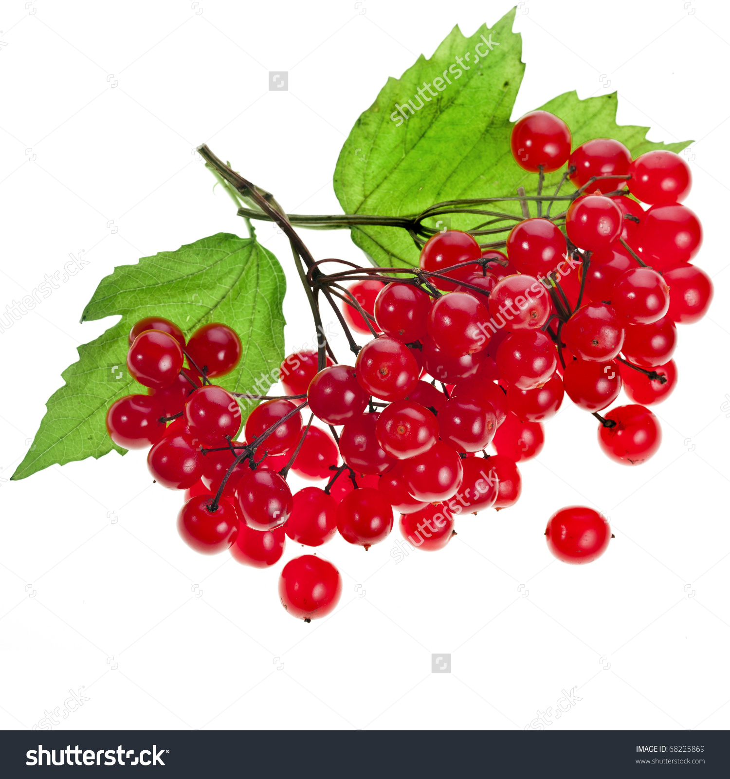 Red Berries Viburnum Arrow Wood Isolate Stock Photo 68225869.