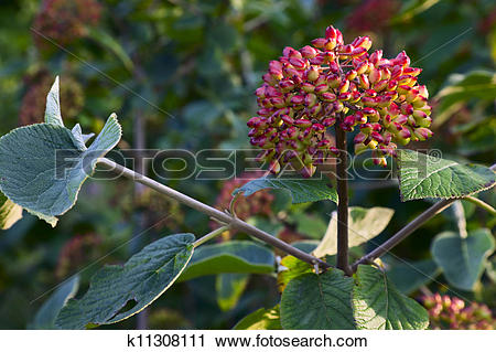 Stock Photography of Viburnum lantana k11308111.