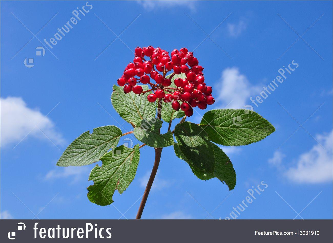 Plants: Wayfaring Tree (Viburnum Lantana).