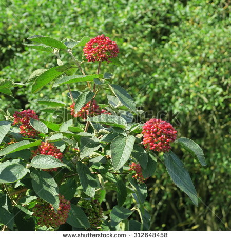 Viburnum Lantana Stock Photos, Images, & Pictures.