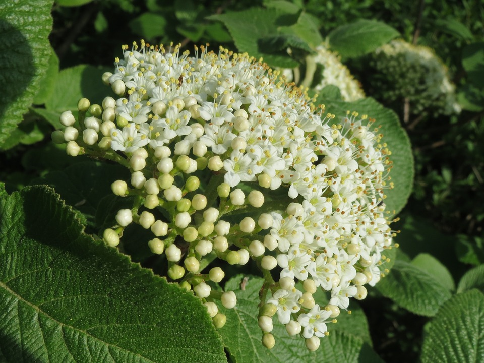 Free photo Tree Wayfarer Shrub Wayfaring Tree Viburnum Lantana.
