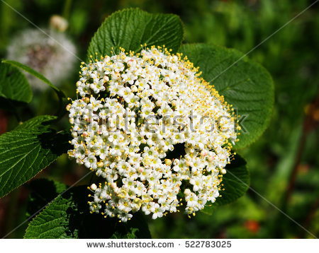 Lantana Tree Stock Photos, Royalty.