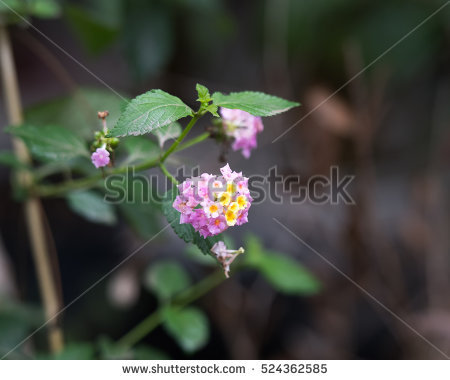 Lantana Stock Photos, Royalty.