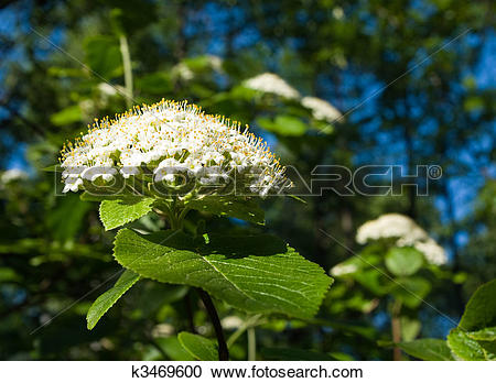 Stock Photography of Viburnum lantana k3469600.