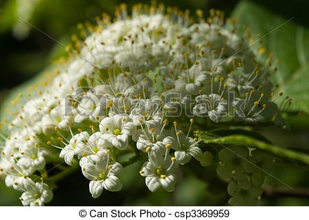 Stock Photographs of Viburnum lantana flowers in evening sunlight.