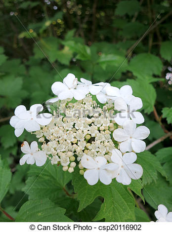 Stock Photography of Guelder rose (Viburnum opulus) inflorescence.