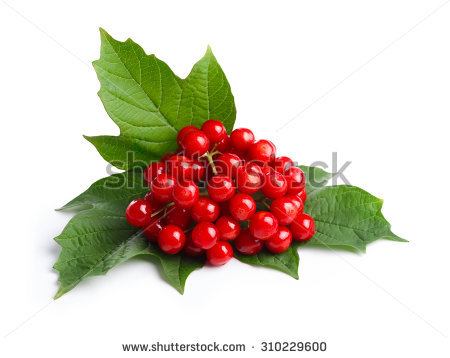 Viburnum Stock Photos, Royalty.