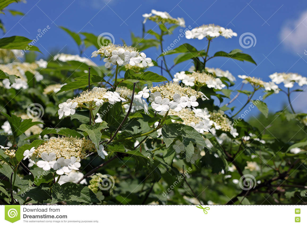 Guelder Rose (Viburnum Opulus) Flowers Stock Photo.