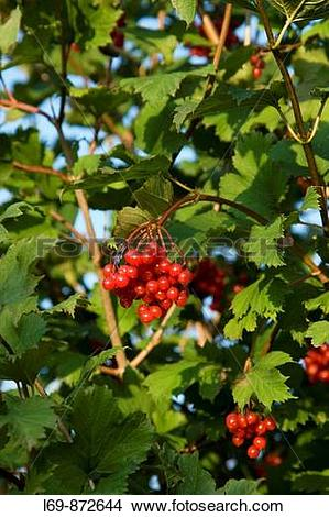 Stock Photo of Guelder rose with berries in autumn. Viburnum.