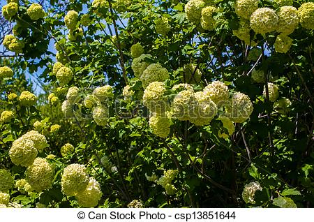 Stock Photo of Viburnum opulus Compactum bush with white flowers.