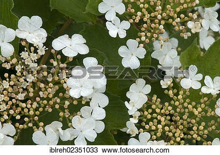 "Stock Photo of ""Snowball Tree (Viburnum opulus), Filz, Woergl."