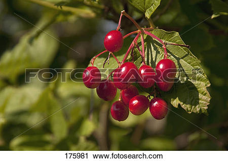 Stock Photography of European Craneberrybush, Guelder Rose.