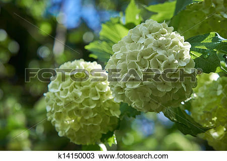 Stock Photo of Viburnum opulus. Guelder rose in a spring garden.