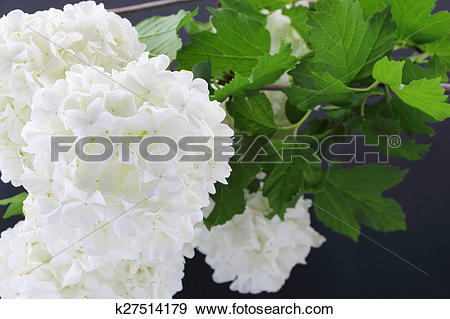Stock Photograph of Viburnum opulus flowers on dark background.