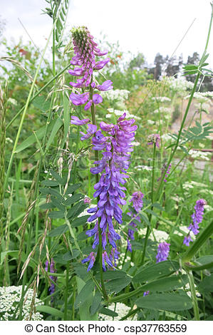 Stock Images of Tufted vetch or Bird vetch (Vicia cracca) in the.
