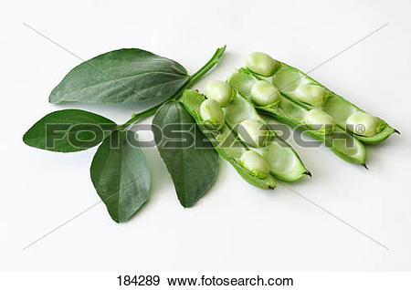 Stock Photograph of Broad Bean (Vicia faba), opened pods with leaf.