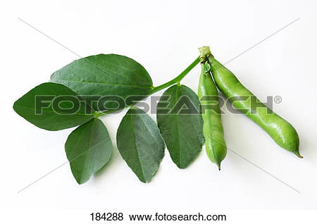 Pictures of Broad Bean (Vicia faba). Leaf and two green pods.